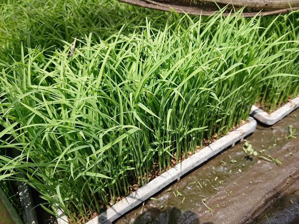 美山錦の田植え終わりました。地米酒日記でご報告。