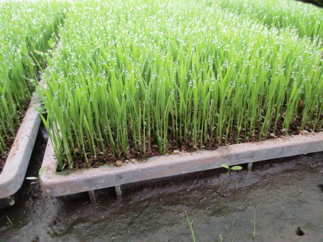 今年の米作り始まりです。