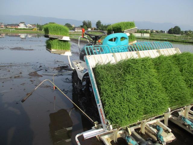 今年の米作り・田植え。