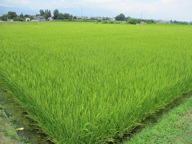 今年の米作り・猛暑に負けるな。